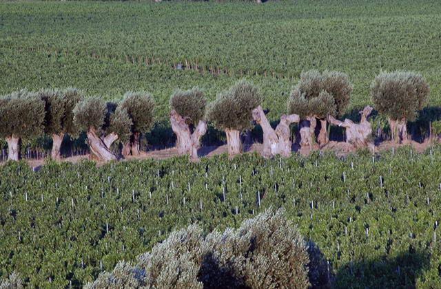 Colture agricole che caratterizzano il circondario di Masseria Amastuola